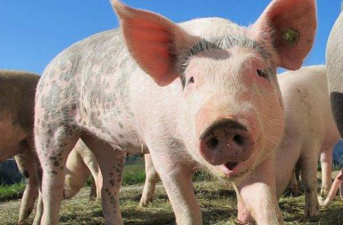 Учёные обнаружили, что свиньи умнее собак
