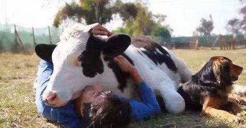 Бык ведет себя как пёс