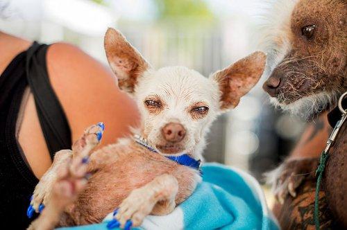 Самая уродливая в мире собака выиграла полторы тысячи долларов (10 фото)