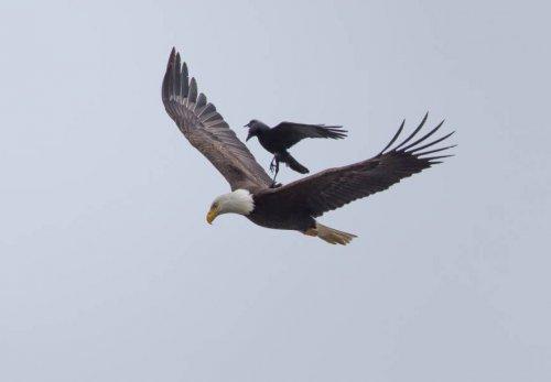 Уникальные кадры полёта ленивой вороны (5 фото)