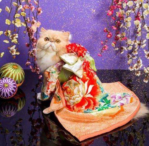 Кошки в кимоно (21 фото)