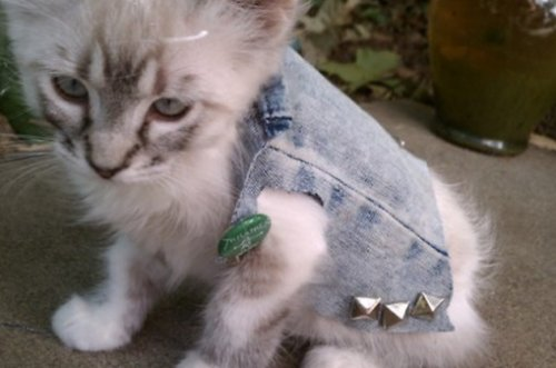 Кошки в джинсовке (11 фото)