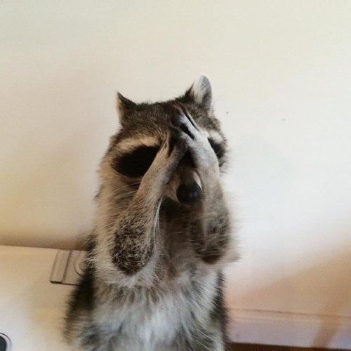Самый талантливый енот в мире (15 фото + 2 видео)