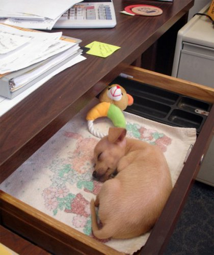 Собаки, которых взяли с собой на работу (29 фото)