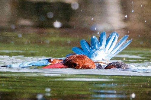 Драматическая битва между зимородком и змеёй (6 фото)