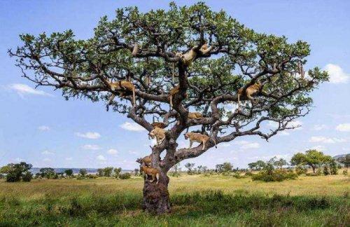 Львы прячутся на дереве (10 фото)
