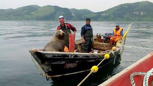 На Сахалине морской котик принудил рыбаков катать его в лодке 8 часов (5 фото)