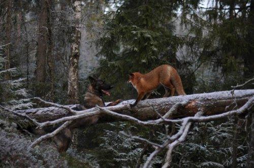 Удивительная дружба лисицы и собаки (7 фото)