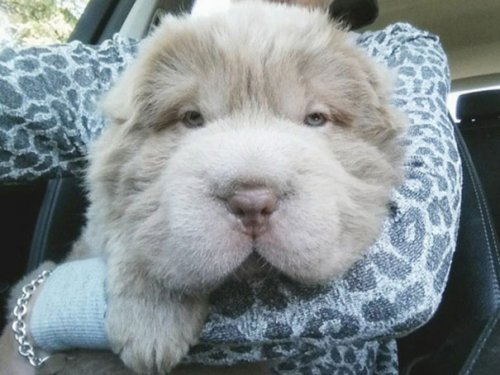 Собака похожая на медвежонка (13 фото)