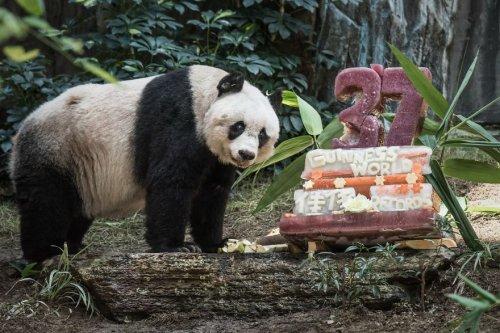 Панда-долгожительница отметила 37-ой день рождения (3 фото + видео)