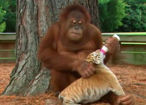 Заботливый орангутанг