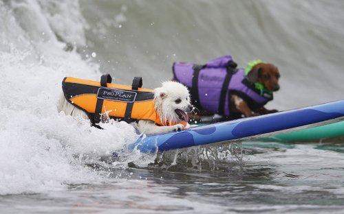 В Калифорнии прошли соревнования по серфингу среди собак (12 фото)