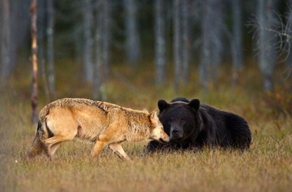 есть, данный волк медведь фото способен повысить