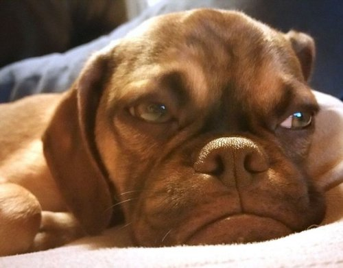 Grumpy dog - новая интернет-сенсация (5 фото)