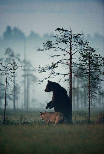 Необычная дружба волка и медведя (6 фото)