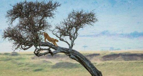 Удивительная красота львов Национального заповедника Масаи Мара, Кения (16 фото)