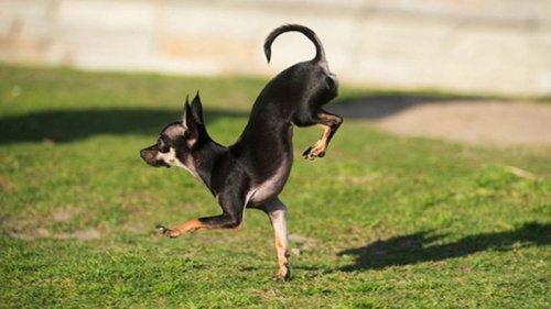 Конжо - рекордсмен по бегу на передних лапах (1 фото+видео)