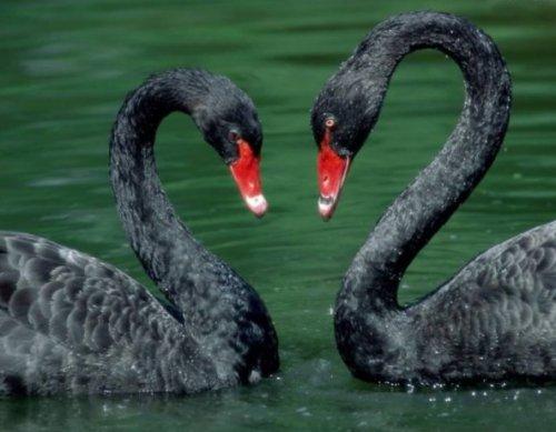 Чёрные лебеди (20 фото)