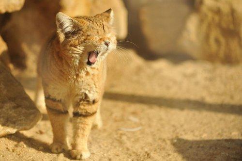 Барханные кошки - взрослые котята (11 фото)