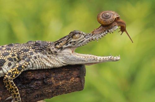 Любопытная улитка и молодой крокодил (5 фото)