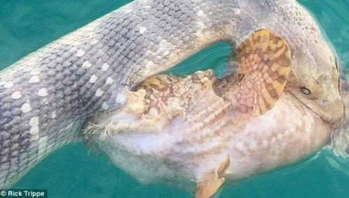 Смертельная схватка ядовитой змеи и хищной рыбы (4 фото)