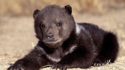Как медвежонок с холма спускался