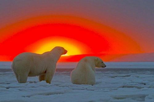 Белые мишки во время заката (10 фото)