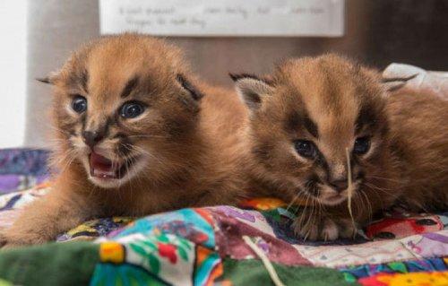Детёныши каракала, родившиеся в Орегонском зоопарке (8 фото)