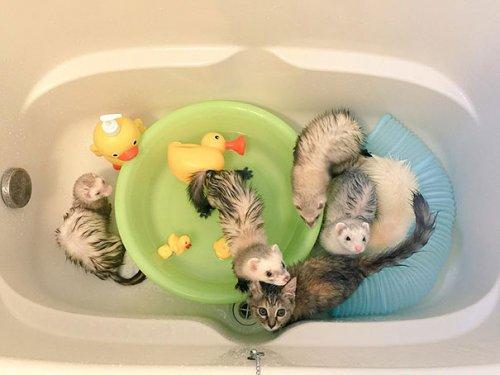 Кошечка Комари и её приёмные братья хорьки (12 фото)