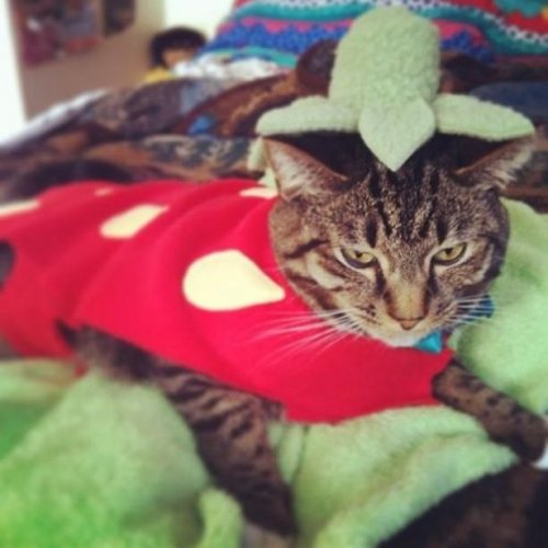 Кошки, недовольные своими хэллоуинскими костюмами (21 фото)