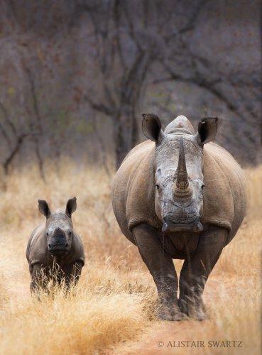 Носороги (20 фото)
