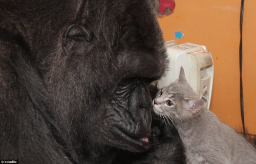 Горилла Коко заботится о котятах (14 фото)