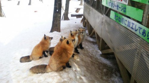 Деревня лис в Японии (7 фото+видео)