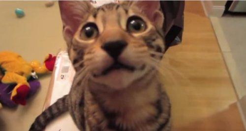 Кот,который смеётся