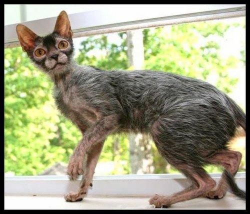 Кошки-оборотни (20 фото+видео)