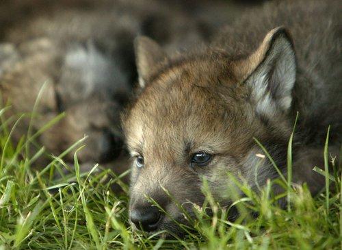 Волчата (16 фото)