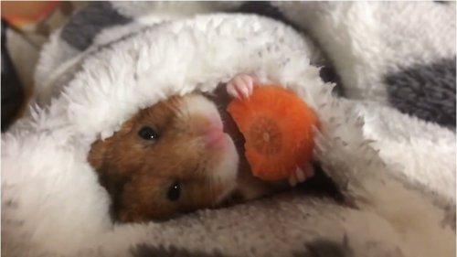 Умилительный японский хомяк, поедающий морковку перед сном, взорвал Интернет(1 фото + 3 видео)