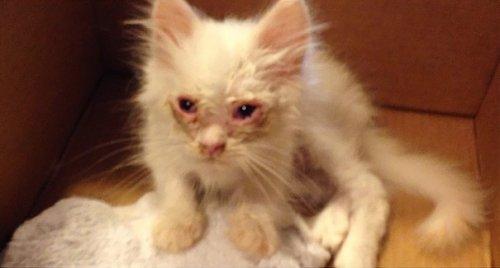 Чудное перевоплощение спасённого котёнка (12 фото)