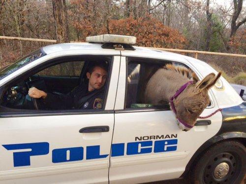 """Юмор: Полицейский забрал ослика с оживленной трассы, а тот отблагодарил его неожиданным """"подарком"""" (3 фото)"""