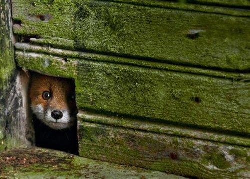 Сказочные фото заброшенных домиков, которые заняли дикие звери (10 фото)
