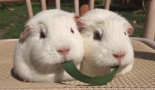 Юмор: Две морские свинки и одна травинка