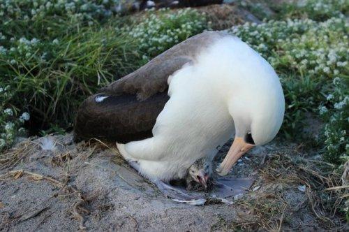 Самая старая дикая птица по кличке Wisdom (3 фото)