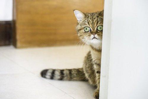 Экзотическая короткошёрстная кошка (10 фото)
