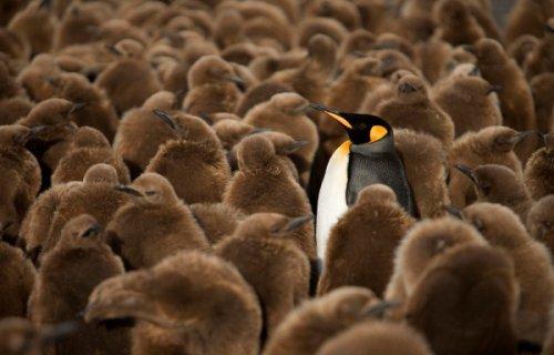 Юмор: Пингвины — это ласточки, которые ели после шести (18 фото)