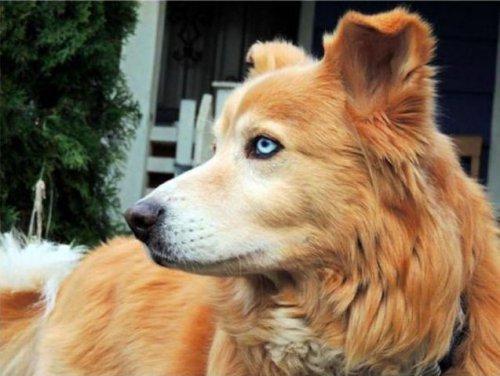 10 гибридов собак, полученных в результате сумасшедших скрещиваний (10 фото)
