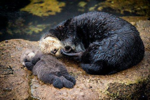 Мимишный пост дня: Новорождённый детёныш морской выдры спит на животе своей матери (5 фото + видео)