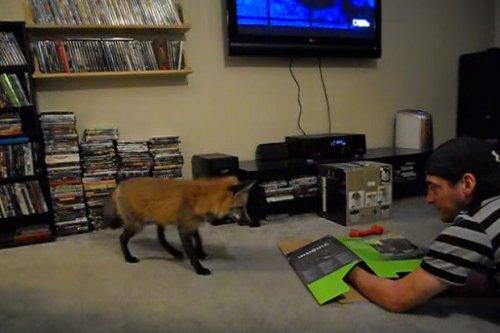 Чем отличается игра с лисой от игры с кошкой