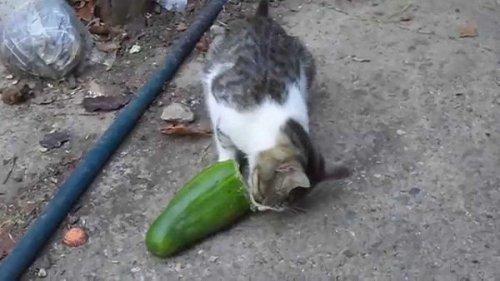 Юмор: Русский кот огурцов не боится!