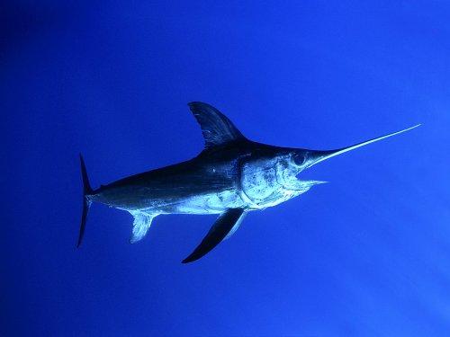 Морской биолог показал, как выглядит малёк меч-рыбы (2 фото)