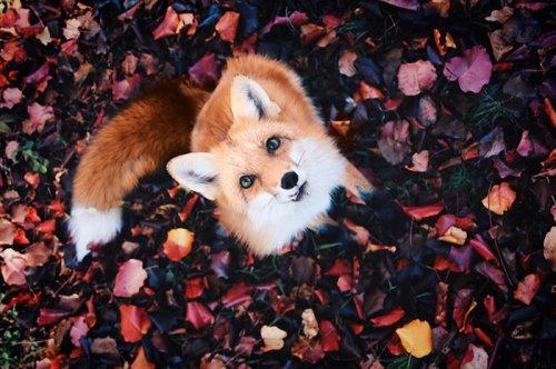Счастливая лисица Джунипер покоряет Instagram (21 фото)